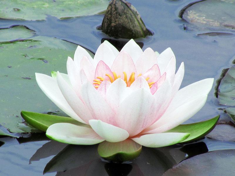Los Principios Activos Para La Belleza: La Flor De Loto