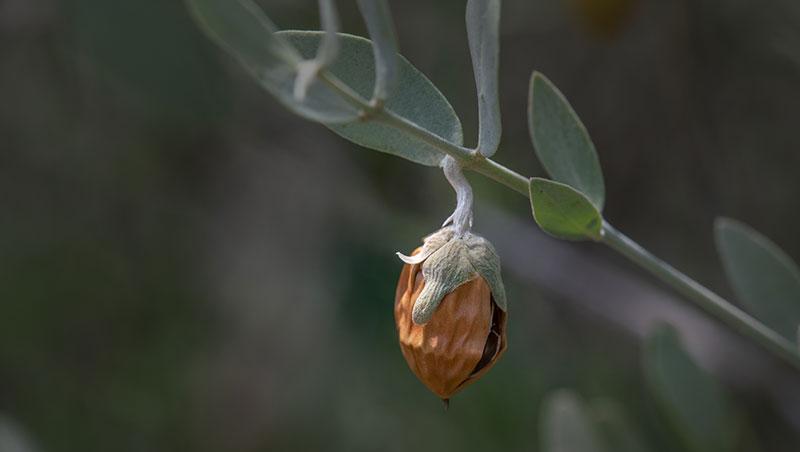 planta de jojoba y fruto con cascara