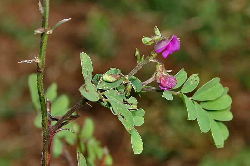 Tephrosia Purpúrea