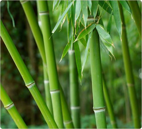 cañas de bambú usadas en bambuterapia