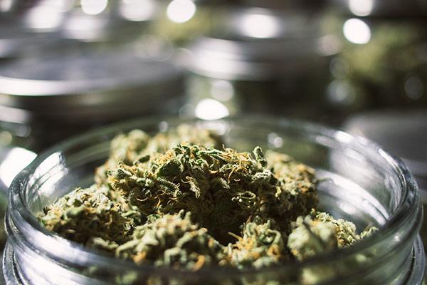 cañamo del cannabis