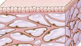 Hasta el momento se hablaba de un espacio intersticial entre las células, pero no de un órgano. Ha pasado desapercibido porque no se ve desde un microscopio