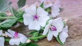 Um estudo científico recente mostra as propriedades medicinais da planta malvavisco em fitoterapia relativas à proteção das membranas mucosas do trato digestivo. Esta é apenas uma das suas muitas propriedades