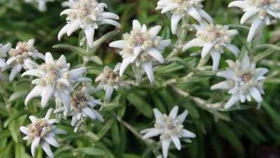 Edelweiss, la planta superviviente, ideario de belleza