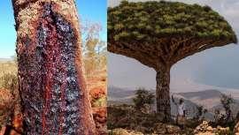 Izba Nature lo explica todo acerca de esta resina rojiza con propiedades antienvejecimiento provenientes del Croton Lechteri
