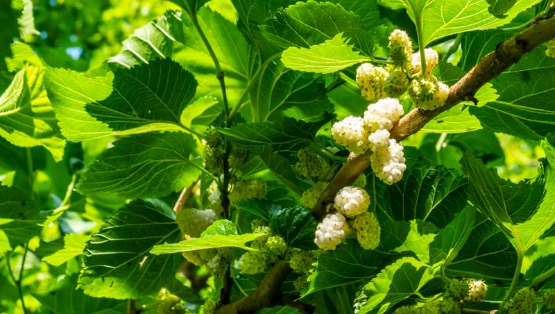 Morera blanca, el nuevo superingrediente contra la acción nefasta de los UV