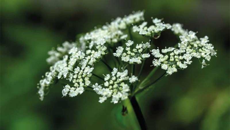 Células vegetales que resuelven el envejecimiento de la piel