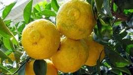 Apreciado há séculos na Ásia pelas suas propriedades antienvelhecimento, de saúde, beleza e bem-estar, esta fruta similar ao limão, Yuja ou Yuzu é um dos ingredientes cosméticos preferidos das coreanas, que agora descobrimos na Europa
