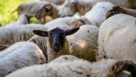 Esta iniciativa ha comenzado con un tándem de 150 ovejas y agricultores locales, los cuales están haciendo una pequeña trashumancia por varios de los cultivos