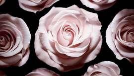 De gran poder regenerador y estimulante, la rosa se utiliza como principio activo en productos para pieles sensibles y delicadas por sus propiedades calmantes, ayudando también a hidratar, suavizar y alisar la piel