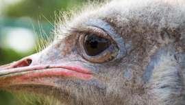El aceite de avestruz en la cosmética