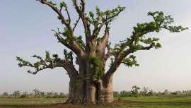 Desde la antigüedad se utiliza el baobab para usos cosméticos. Las proteínas, las vitaminas y minerales que se encuentran en la pulpa, en las hojas y en la semilla son un óptimo nutrimento para la epidermis, el cabello y las uñas