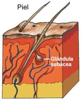 seborrea capilar y glandulas sebaceas