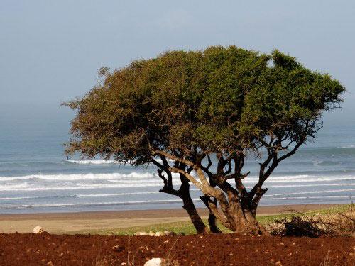 árbol del argán -argania spinosa