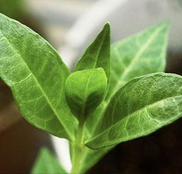 planta arbusto de la Henna